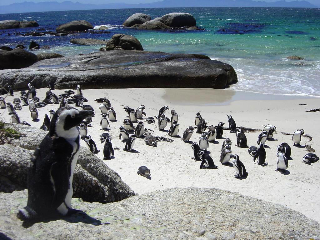 Resultado de imagen de pinguinos africanos ciudad del cabo
